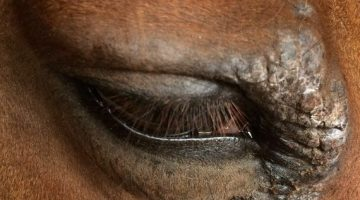 Sarcoids – a scourge on the modern horse?