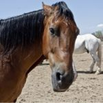 Moody  Mares – The Vet's Perspective